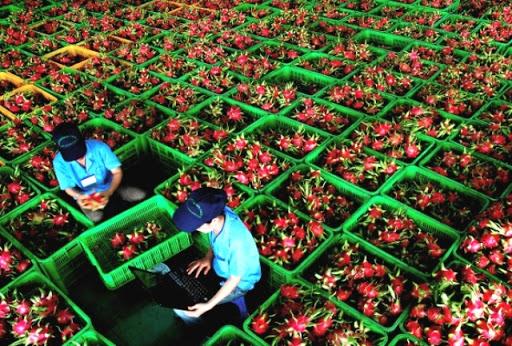 Thanh long là một trong những nông sản thường đạt giá trị xuất khẩu tỷ đô trong nhiều năm. Ảnh: T.L.